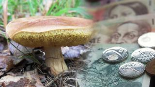 Na houbách se dá vydělat.