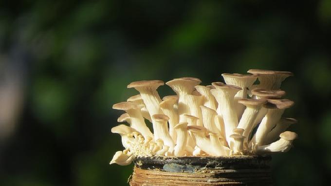 Hlívá je doslova zázračná houba.