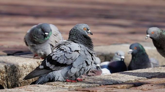 ˇV Česku řádí holubí nemoc.