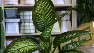Difenbachie je rod rostlin z čeledi árónovité
