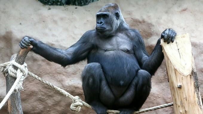 Gorilí samice Bikira