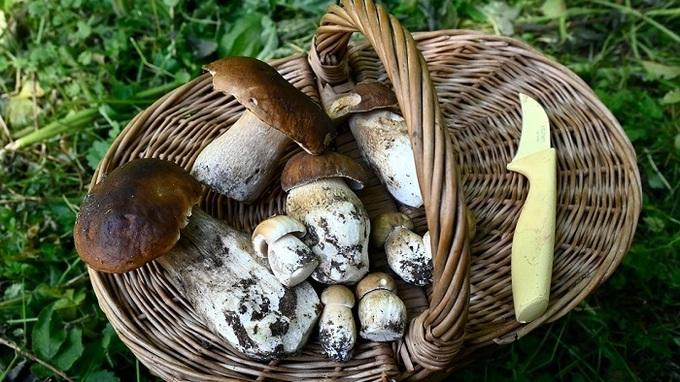 Hřib dubový je vyhledávaná houba.