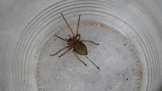 Zápřednice je nejjedovatější pavouk Česka.