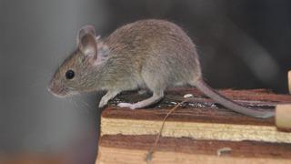 Myš – ilustrační snímek