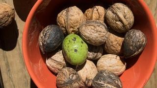 Ořechy – ilustrační foto